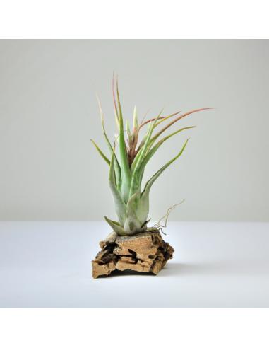 Tillandsia Paucifolia Ecoterrazas