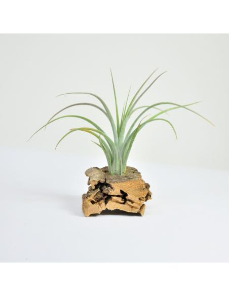 Tillandsia Califano (Ionantha x Baileyi) 3