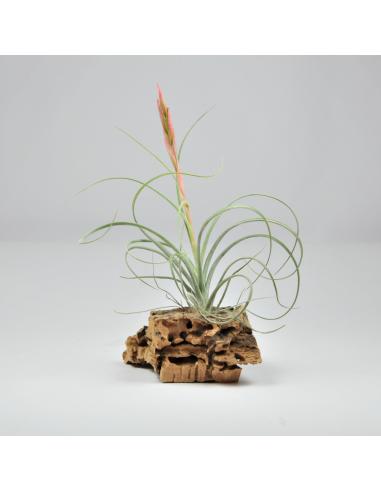 Tillandsia rectifolia PULK