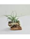 Aeranthos Wavy Slim Tillandsia Ecoterrazas