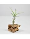 Tillandsia Albida Ecoterrazas