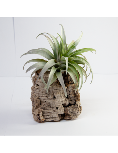 Capitata Dwarf Yellow Tillandsia