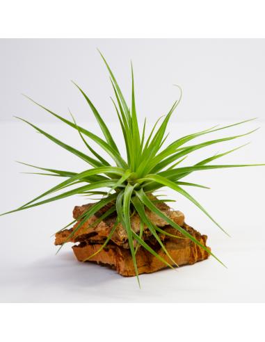 Tillandsia Híbrido Stricta Hart x Tenuifolia Ecoterrazas
