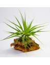 Stricta Hart x Tenuifolia Tillandsia Hybrid