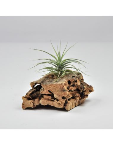 Holm´s Sapphire x Tenuifolia Vaginata Tillandisa Hybrid Ecoterrazas
