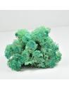Pacific Green Lichen