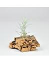 Mini Tectorum  Tillandsia Ecoterrazas