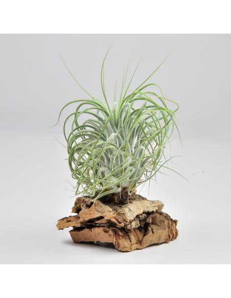 Delicata Tillandsia Ecoterrazas