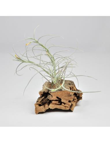 Old Man´s Gold Tillandsia Ecoterrazas