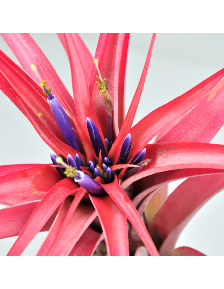 Tillandsia Brachycaulos Multiflora 2