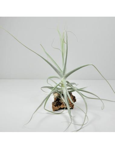 Holm´s Capricorn Tillandsia Ecoterrazas