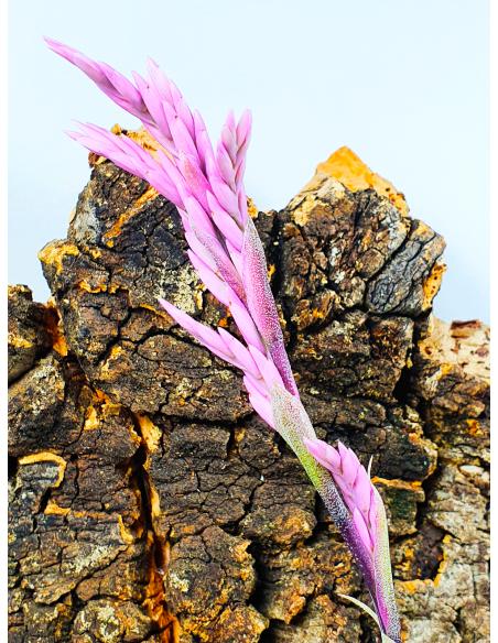 Purpurea Tillandsia Ecoterrazas