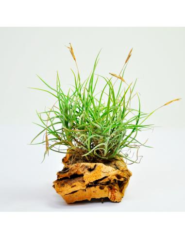 Tillandsia Bandensis Clump Ecoterrazas