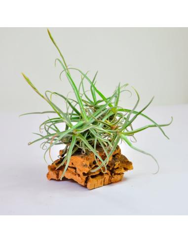 Reichenbachii Clump Tillandsia Ecoterrazas