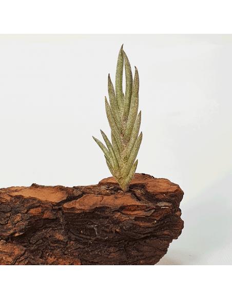 Tillandsia Capillaris Tipo 5 Ecoterrazas