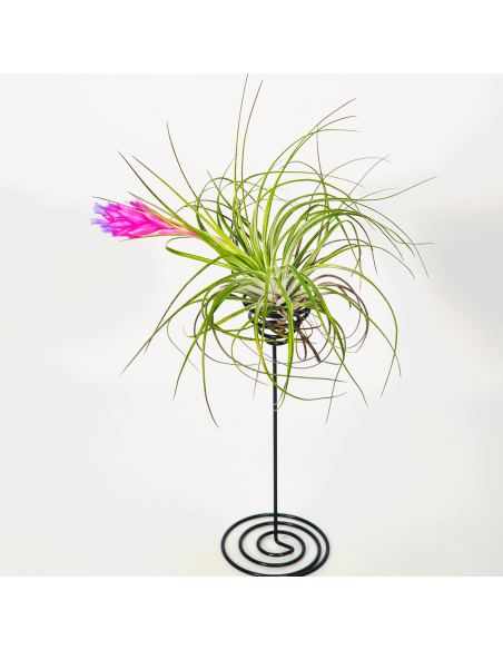 Metal stand for Tillandsias