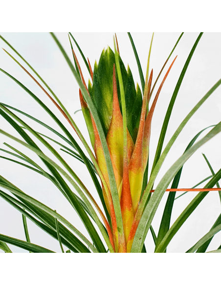 Punctulata Tillandsia Ecoterrazas