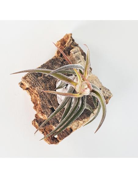 Pruinosa Tillandsia Ecoterrazas