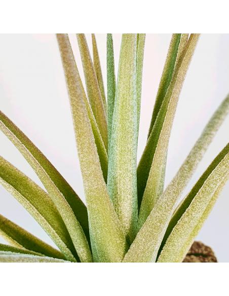 Tillandsia Ixioides x Aeranthos Ecoterrazas