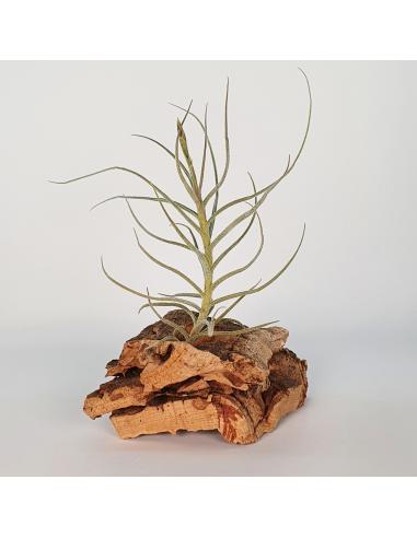 Tillandsia Holm´s Mallekii Ecoterrazas