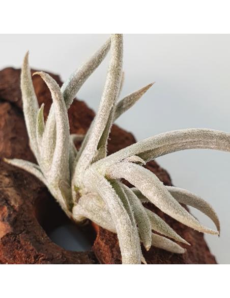Tillandsia Castellanii Ecoterrazas