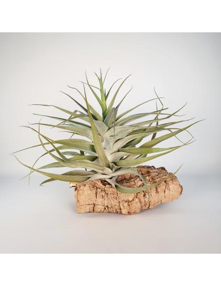 Tillandsia Cacticola Bright Leaf XL Ecoterrazas