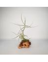 Caerulea single Tillandsia Ecoterrazas