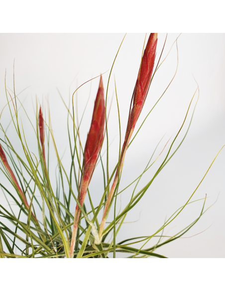 Tillandsia Schiedeana Mayor Clump Ecoterrazas