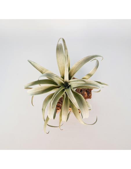 Tillandsia Capitata Yellow Star Ecoterrazas