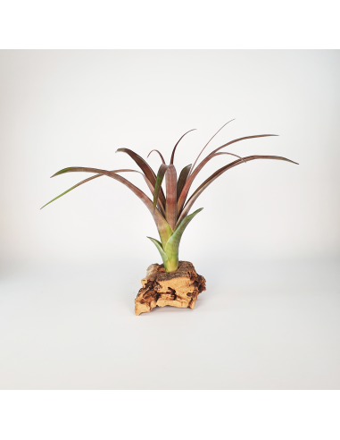 Tillandsia Flabellata Dark Leaf Spirit Ecoterrazas