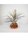 Tillandsia Houston Colossus   (Stricta x Recurvifolia) Ecoterrazas