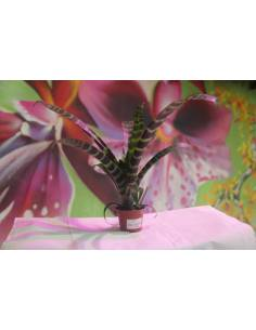 Vriasea Splendens