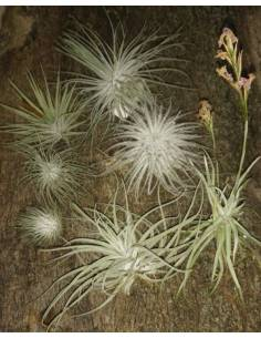 Pack of 7 Tillandsias