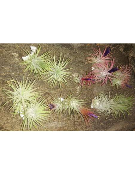 Pack of 16 tillandsias ionanthas