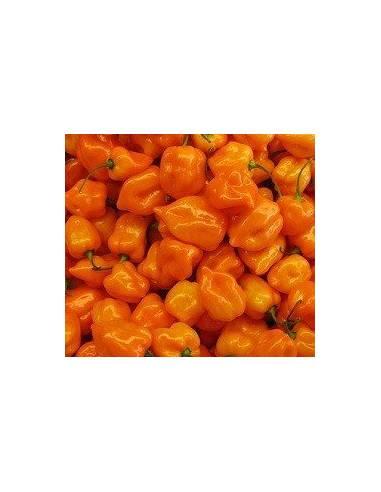 Semillas Pimiento habanero naranja (muy picante)