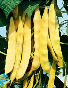 Seeds yellow dwarf Bean Capitan