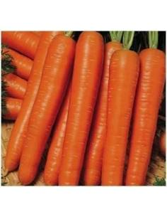 Nantes carrot seeds ECO 5