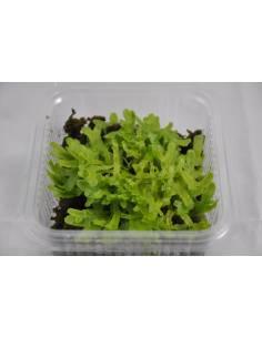 Moss lebermoos