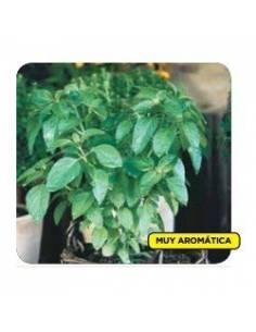 Semillas albahaca enana marsellesa