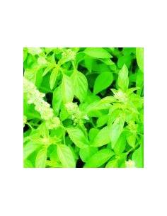 Semillas albahaca lemon citron