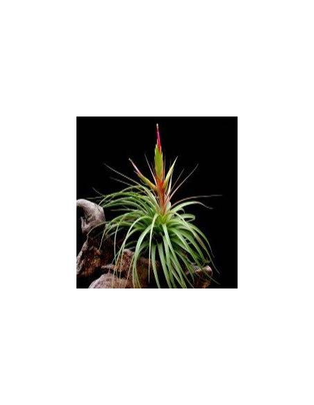 Tillandsia Concolor 2
