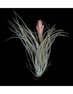 Tillandsia houston candy