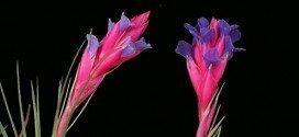 Clavel del aire o Tillandsia Aeranthos