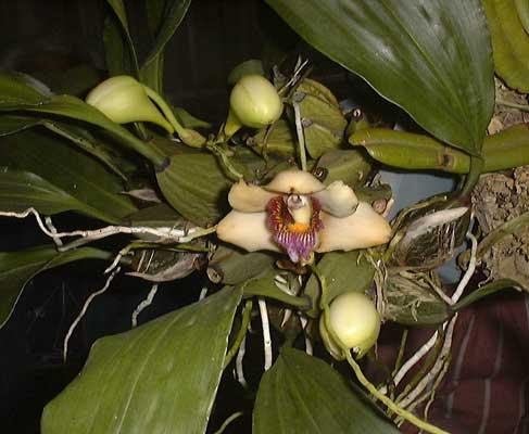 Bifrenaria orquidea