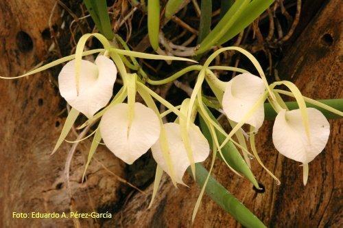 Brassavola orquidea