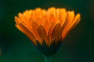 Calendula_officinalis_2