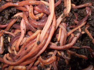 Californian_red_worms