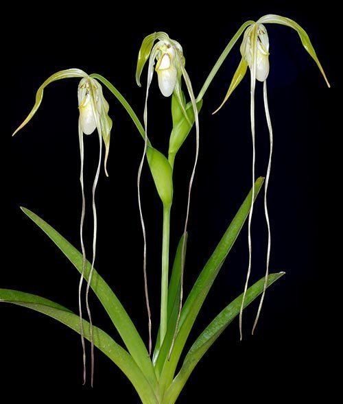 Phragmipedium orquidea