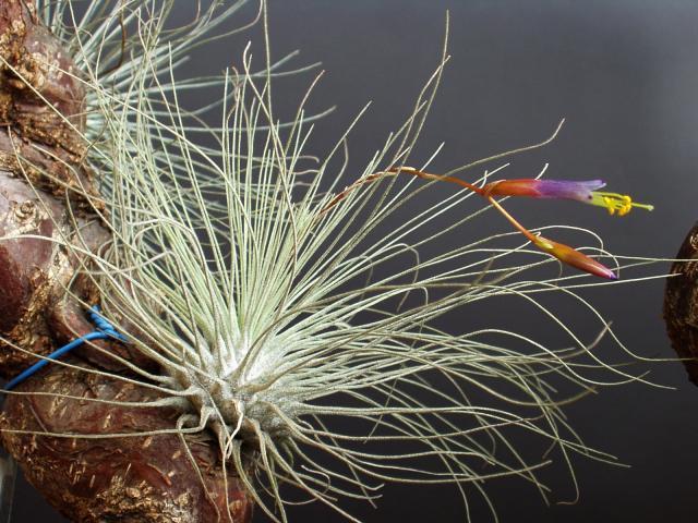 Tillandsia argentea