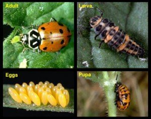 convergent_lady_beetle